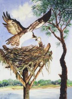Beaufort River Ospreys