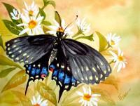 Butterfly - Spicebush Swallowtail