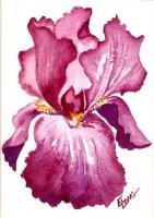 Iris, Burgundy
