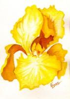 Iris, Yellow