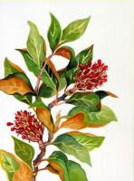 Magnolia Seed Pods